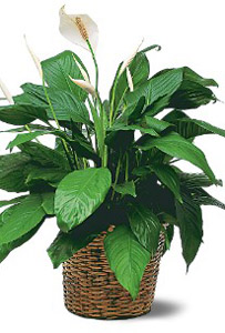 Large peace lily plant charles adgate florist large peace lily plant mightylinksfo
